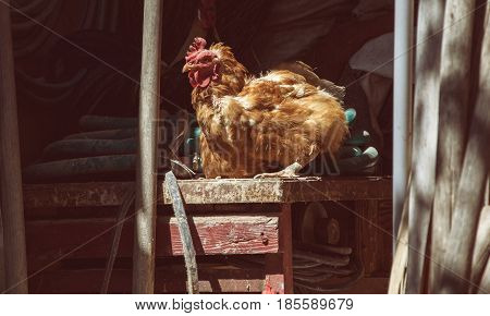 Hens feed on the traditional rural barnyard at sunny day. Chickens sitting on working tools in old shed. Close up of chicken standing on barn yard with the chicken coop. Free range poultry farming