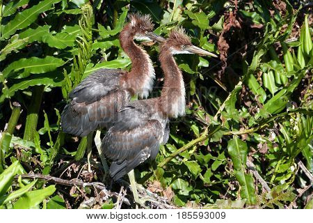 A pair of juvenile Tricolor Herons stand waiting for parent to return with food in a Florida rookery
