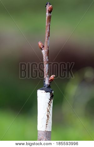 Grafted Fruit Tree In An Orchard