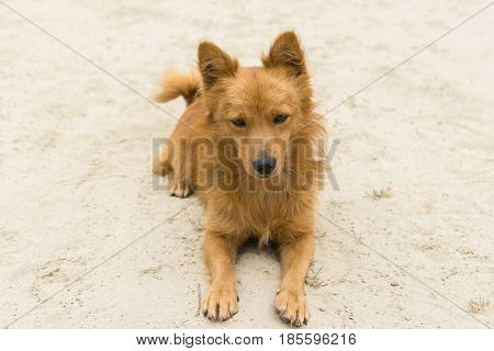 Portrait of cute mixed breed dog lying on a sandy surface with no interest