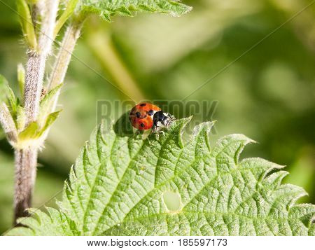 Close Up Detail Of A Ladybird Bug Outside On A Leaf Moving In Late Afternoon Spring Light And Heat W