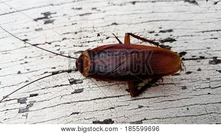 Cockroach isolated animal  on white background .