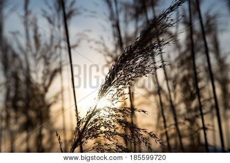 bulrush on background sunset in winter . Photo in nature