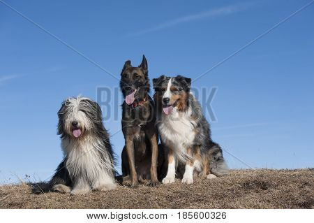 Three dog friends sitting on top of the mountain. They are together forever.