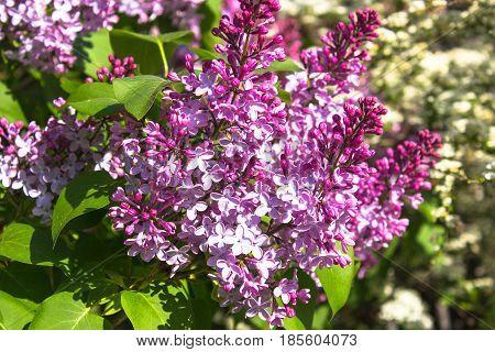 Pink violet Syringa vulgaris flowers close up