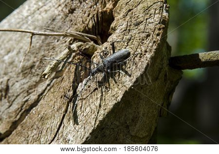 A close-up view of a black beetle with long rodents climbing a wooden stump on a sunny day