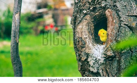 Little chicken sits in the hollow of a tree