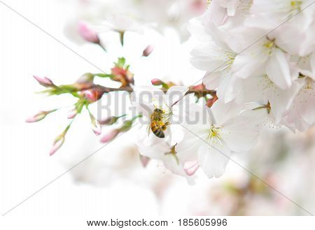 Australian honeybee on Weeping Cherry tree flower in spring, Melbourne Australia.