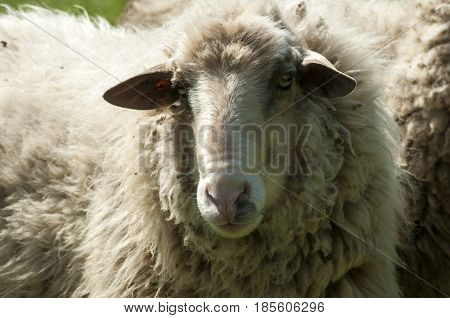 Shaggy sheep closeup on green grass meadow background