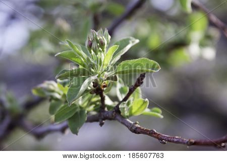 Close up view of a branch with fresh green buds spouting with soft focus background near Burlington, Vermont on a sunny day in early May.