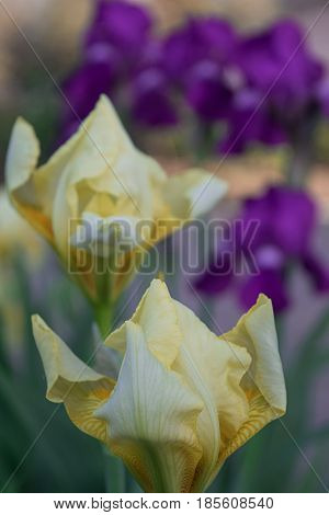 Two beautiful yellow almost blossoming irises close-up against a background of purple irises in the distance