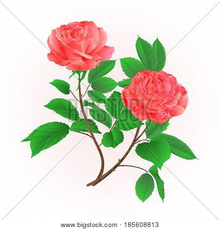 Roses flower pink twig with leaves nature background vintage hand draw vector illustration