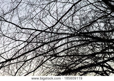 Silhouette Of Leafless Tree On The Winter Sky.