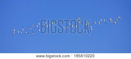 flock of birds flying in a blue sky