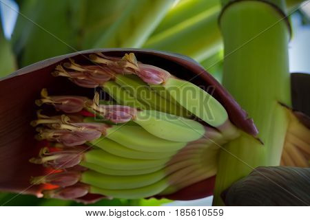 Young Bananas With Flower