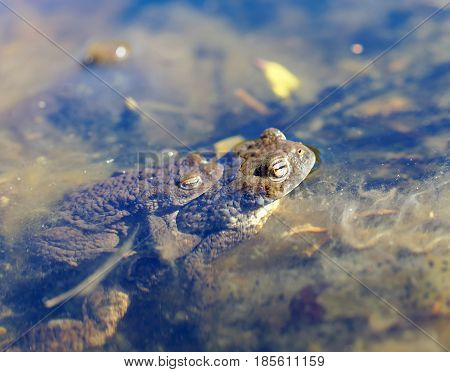 Two toad are mating in the pond sitting on top of each other. Latin name: Bufo bufo