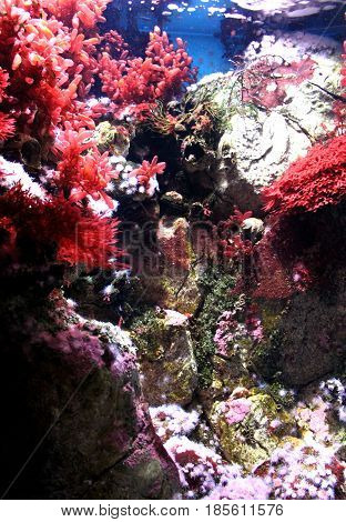 Red and pink sea plants coral heads anemone polyp on stones in aquarium. Vertical view