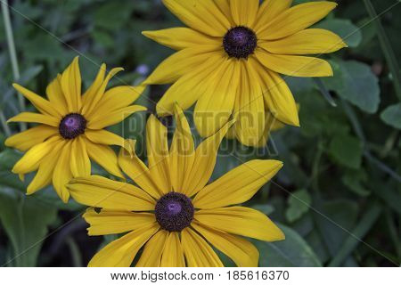 Wide view of vivid yellow Black Eyed Susan flowers with soft focus background near Cornwall, Ontario on a sunny day in August.