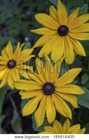 Vertical close up of vivid yellow Black Eyed Susan flowers with soft focus background near Cornwall, Ontario on a sunny day in August.