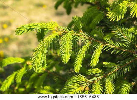 A young light green fir branch with Young shoots of spruce trees erly morning in the spring