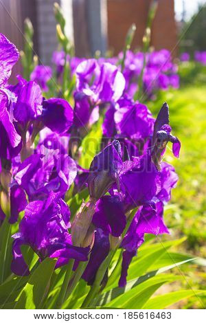 Spring flower background - purple early spring iris flower under sunlight. Focus at the flower petal. Flowers under spring sunlight. Closeup of spring iris flowers. Nature view of spring flowers.
