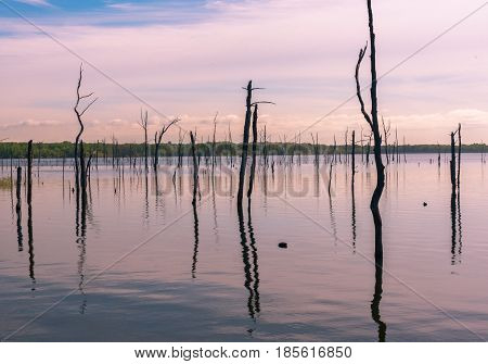 Trunks of dead trees rise out of a lake in pale morning light