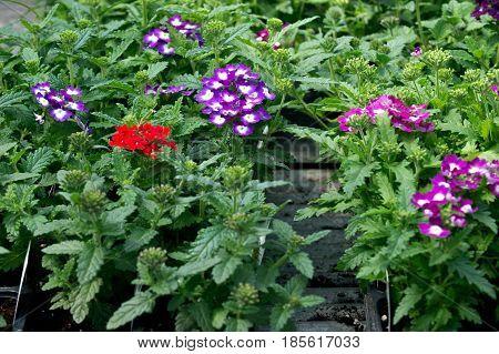 Pelargonium, geranium amish farm container grown plants