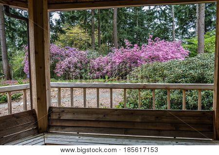 A view of a wall of Rhododendron flowers from a porch. Shot taken in Federal Way Wasington.