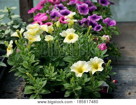 Wave petunia amish farm container grown plants