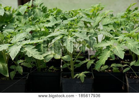 Organic vegetable tomato, amish farm container grown plants