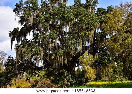 Oak tree with Spanish Moss at the Circle B Bar Reserve in Florida.