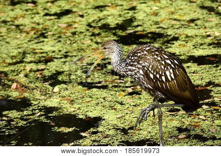 Portrait of a Limpkin in a swamp.