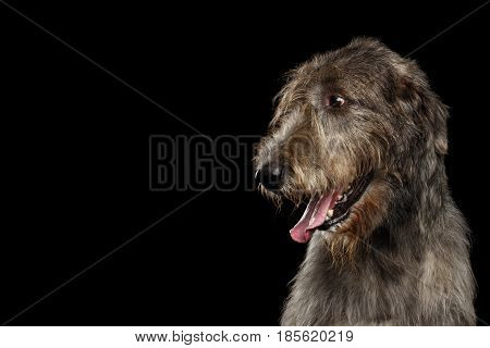 Portrait of Irish Wolfhound Dog Looking at side on Isolated Black Background, profile view