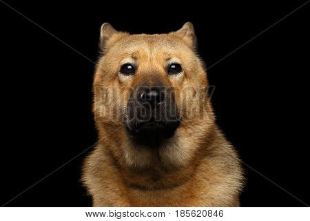 Portrait of Dog mix breed Akita Inu and Chow Chow Isolated on Black Background, Funny face