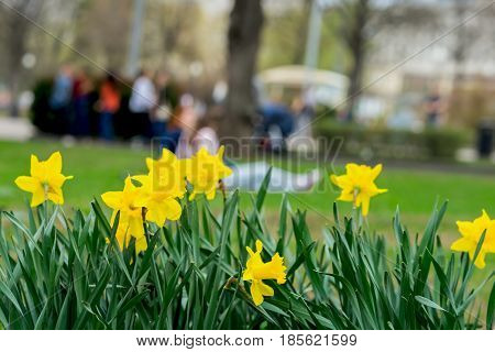 Flower bed with flowers of yellow daffodil, Narcissuses flowers blooming in the spring and blurred Unrecognizable young people. Natural spring background, concept of spring, seasons