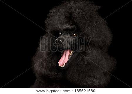 Close-up Portrait of Royal Poodle Dog Amazement Isolated on Black Background