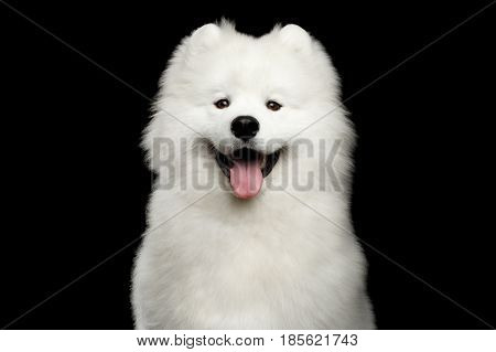 Portrait of Happy Samoyed Dog isolated on Black background, front view