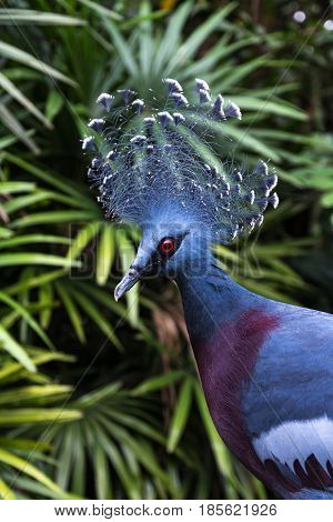 Pigeon Victoria crowned (Goura victoria exotic pigeon bird).
