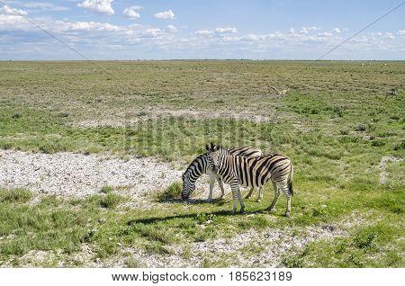 Two plains zebras (Equus quagga) grazing with springboks in Etosha national park