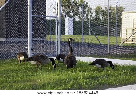 Wide view of a flock of Canada Geese feeding beside an industrial gated fence in Cornwall, Ontario in early August.