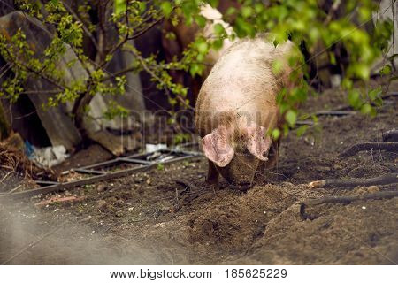 Big pig on a farmstead home in the spring.