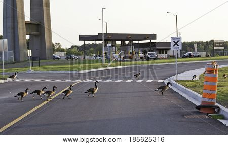 Cornwall, Ontario - August 9, 2014 -- Landscape of flock of Canada Geese waddling across the pedestrian walk at the border crossing station in Cornwall, Ontario in early August.
