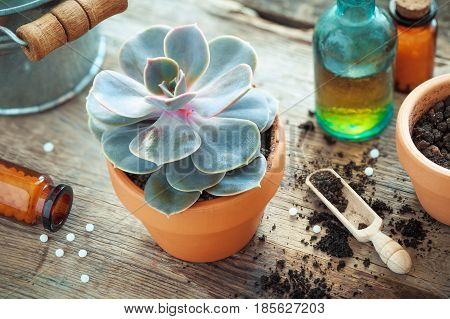 Echeveria in flower pot and homeopathic remedies for plant and crops. Natural alternative treatment of plant diseases.