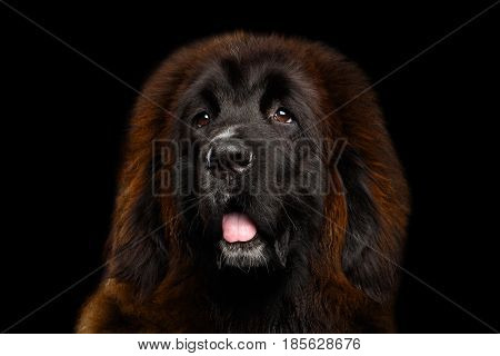 Portrait of Red Tibetan Mastiff on Isolated Black Background, most expensive dog