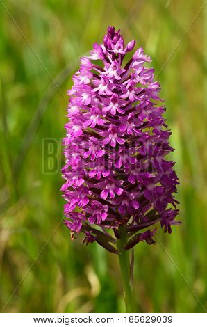 Dark Pink Wild Pyramidal Orchid Inflorescence - Anacamptis Pyramidalis