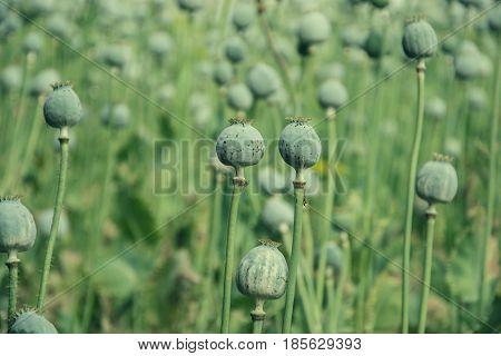 Unripe green poppies heads in garden. Poppy-heads field on summer time