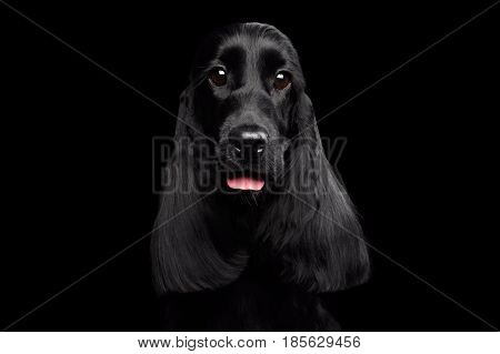 Close-up portrait of dog english cocker spaniel breed, shiny coat, huge eyes looking in camera on isolated black background, front view