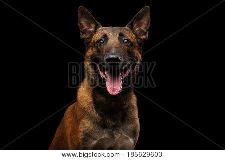 Portrait of Happy Belgian Shepherd Dog Malinois on Isolated Black Background, front view