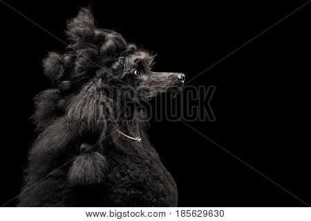 Funny Portrait of Royal Poodle Dog with gold chain and pigtail hair Isolated on Black Background, profile view