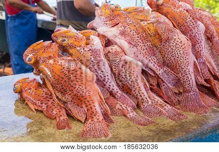 Pile of Freshly Cleaned Scorpion Fish in Santa Cruz Fish Market, Galapagos Islands Ecuador